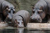 V listopadu 2002 za Slávkem přicestovala z ostravské zoo tříletá samička Maruška, se kterou vytvořili spokojený pár a postupně vychovali tři potomky.