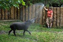 Některá zvířata se od chovatelů nechávají s oblibou sprchovat. Patří k nim například tapír jihoamerický.