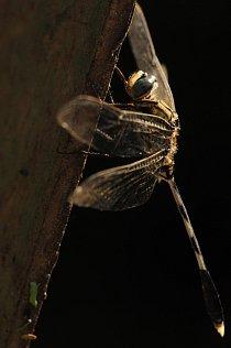 Odpočívající druh z podřádu Anisoptera (indický národní park Keloadeo