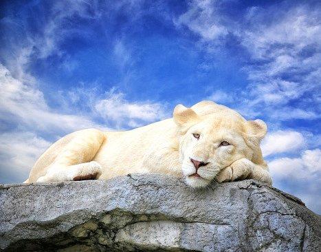 Původní obyvatelé kmenů Tsonga a Sepedi věří, že bílí lvi jsou hvězdným darem Boha a s jejich příchodem na Zem jsou spojené velké změny.