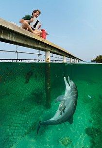 """Přečíst příkaz Stana Kuczaje – šipka znamená """"ponoř se zpátky nadno"""" – je pro tohoto delfína skákavého naostrově Roatán hračka. """"Chceme-li pochopit, jak delfíni uvažují, musíme je pozorovat při řešení podobných úkolů,"""" říká Stan."""