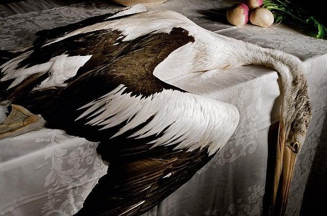 V Brisbane spadl pelikán australský do drátů elektrického vedení a zlomil si vaz. Vytvořil zláštní zátiší, které zachytila fotografka s pomocí blesku a dlouhé expozice a proměnila tragédii v umění. Potom ptáka pohřbila na své zahradě.
