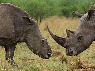 Samec a samice nosorožce bílého