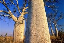 Baobaby se dožívají stovek a tisíc let. Jejich stáří přesahuje naše horizonty. V zemích, kde rostou, je považují za posvátné.