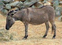 Kříženec zebry a osla (angl. zonkey ze slov donkey a zebra). Tito kříženci se pěstují už od 19. století.