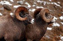 Zároveň  budou diváci z bezprostřední blízkosti sledovat jeden z nejtvrdších bojů o možnost páření, a to mezi samci ovce tlustorohé.