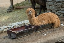 Lama alpaka zvolila originální způsob osvěžení.