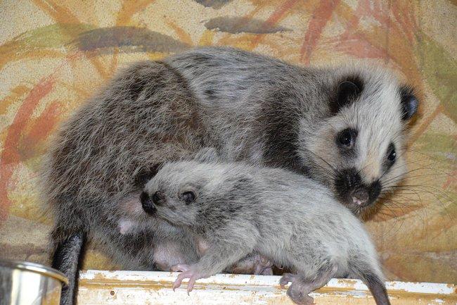 Samice velemyši rodí vždy jen jedno mládě po 60 až 65 dnech březosti.