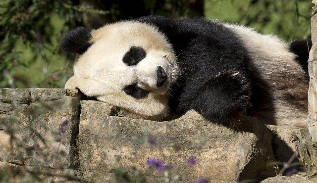 Pravda o čínských pandách. V přírodě vymírají, v zoo vydělávají