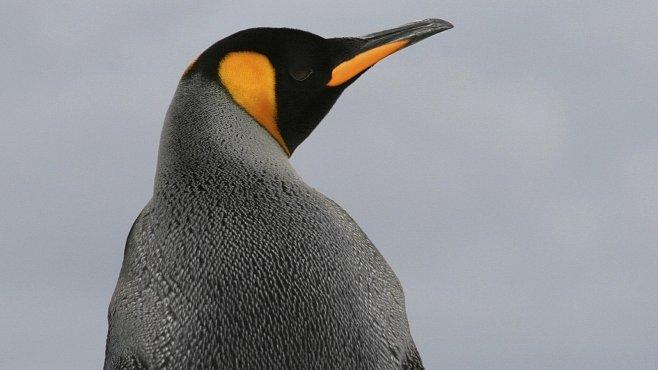 Obří tučňák byl větší než člověk. Žil před 34 miliony lety