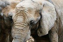 Sloni se dožívají 50 až 70 let. Nejstarší slon se dožil víc jak 80 let. Foto: Thinkstock