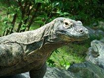 V národním parku Komodo se setkáte s varany, kteří dosahují délky až 3,5 metru.