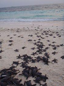 Mořské želvy rostou pomalu.