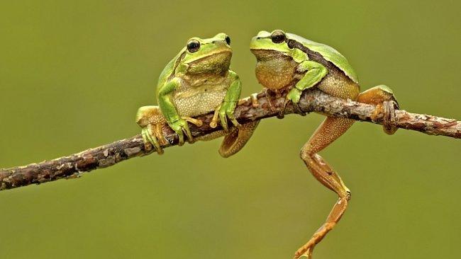Létající žába se pohybuje ve stromech 20 metrů nad zemí. Jde o nově objevený druh