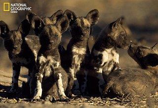 Mláďata psa hyenovitého