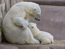 Polar Bear Nursing
