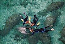 Přírodní rezervace Crystal River je jediným místem vzemi, kde se plavci smějí kapustňáků dotýkat (nahoře). Někteří ochránci přírody to považují za týrání a chtějí to zakázat.