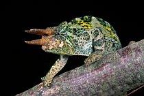 Na světě žije víc jak 150 druhů vhameleonů.