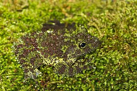 Drnokožka kornatá, žába žijící v tropických lesích severního Vietnamu, svým vzhledem napodobuje mech.