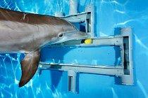Test kognitivních schopností, delfín pomalu vede míček z bludiště vytvořeného z trubek.