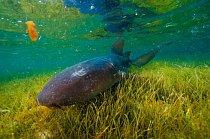 Lighthouse Reef, Belize: Žralok vouskatý