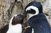 Tučňáci brýloví Pedro a Buddy ze zoologické zahrady v Torontu.