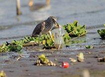 Mladý kvakoš netuší, že s plastovým obalem si jeho tělo neporadí.