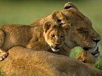 Nejosamělejší lvice světa