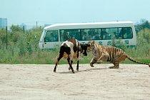Kráva je vpuštěna do pasti a nemá šanci ani proti jednomu tygrovi, a tady jich má proti sobě hned několik.