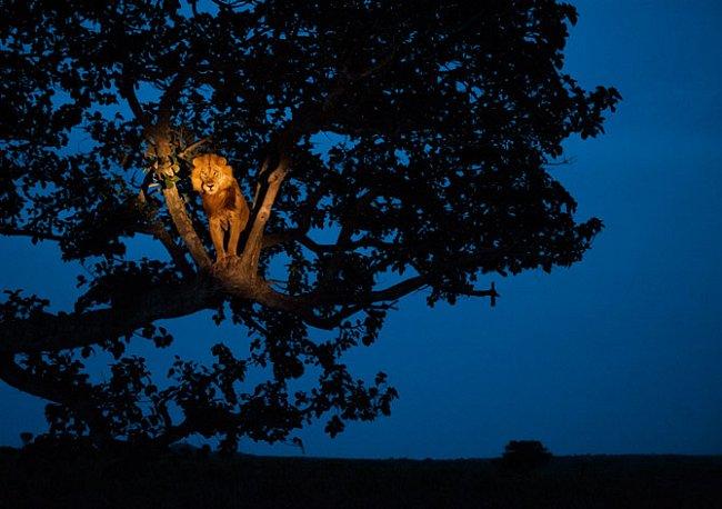 Lev nocující v ugandském Národním parku Queen Elizabeth se právě probudil, FOTO: Joel Sartore