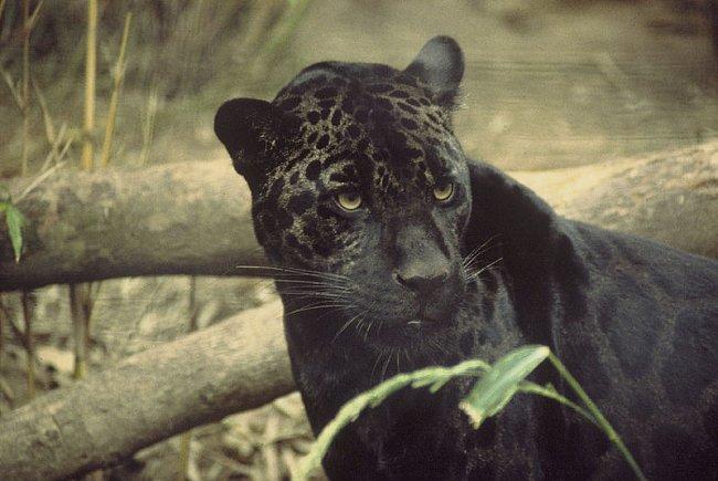 Levhart, nebo jaguár?