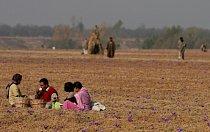 Indie je jednou z mála zemí, kde šafrán roste.