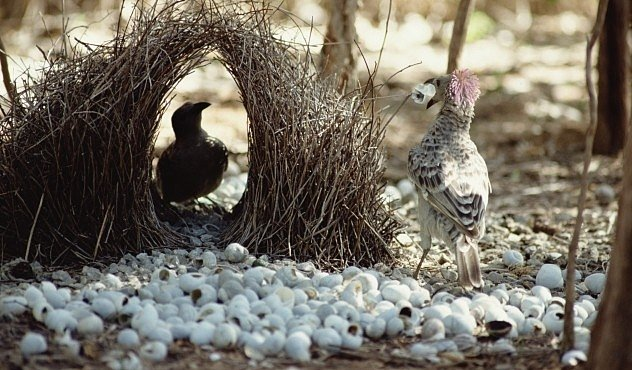 VIDEO: Lemčík zmate samičku perspektivou. A pak se s ní spáří