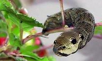 """Housenka lišaje vrbkového (Deilephila elpenor) má na konci těla \""""hadí hlavu\""""."""