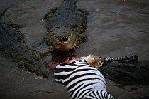 I krokodýli jsou pro zebry vyhledávající vodní zdroje velmi nebezpeční.