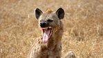 Nejhorší lidožrouti v dějinách: Hyeny v Malawi zabily desítky lidí. A ohrožovaly stovky dalších