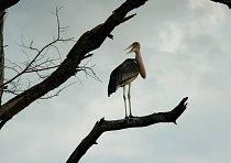 Čáp marabu se rozhlíží po svém teritoriu.