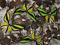 """""""Každý exemplář má svůj příběh,"""" říká penzionovaný entomolog Smithsonian Institution Gary Hevel. Carla von Hagena, přírodovědce, který tuto sbírku ptakokřídleců rajských pořídil kolem roku 1900 v Papu"""