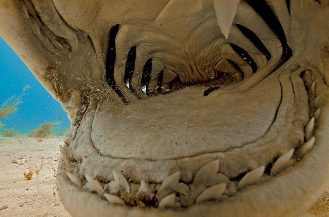 Bahamy: Žralok tygří