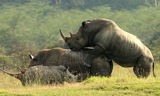Nosorožci jsou v páření šampioni. Platí za to ale tvrdou daň