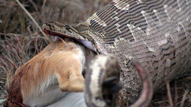 NEJ videa National Geographic: Nebezpečná krajta sežere cokoliv. I velkou antilopu