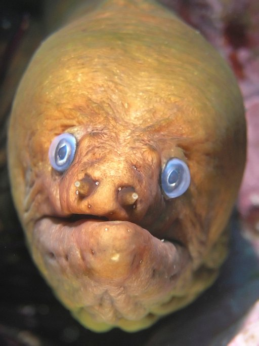 Murénovití (Muraenidae) jsou dravá mořské ryby  mající typicky protáhlé tělo, které připomíná hada, a navíc jim chybí břišní ploutve.