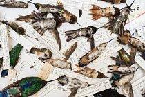 """Chyťte kolibříka. Zabijte ho. Zabalte ho do spodního prádla, obalte v medu – a prodejte jako zaklínadlo lásky. Vyfocení kolibříci jsou součástí sbírky americké služby pro ptactvo a divokou přírodu, kteří měli být prodáni pro zaklínadla lásky """"chuparosa""""."""