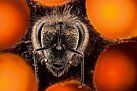 Nová včela medonosná se vynořuje zchovné buňky. Během šesti týdnů svého života bude tato dělnice hledat potravu, vytvářet med a vychovávat další generaci.