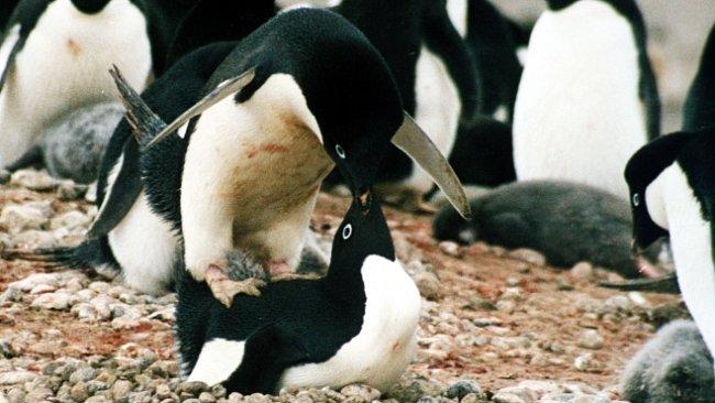 Vědci 100 let cenzurovali studii o sexuálním chování tučňáků. Byla příliš šokující