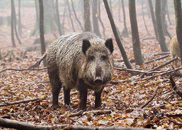 Divočák patří k nejchytřejším tvorům evropských lesů.