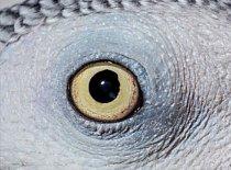 10. Čí jsou to oči? a) lori mnohobarevný zelenopáskový b) papoušek šedý c) pštros dvouprstý