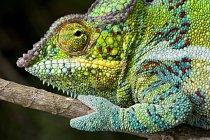 Hlavním místem výskytu je jednoznačně Madagaskar.
