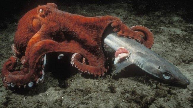 VIDEO: Chobotnice mají ohromující intelekt. Co člověk vyhodí, to zužitkují