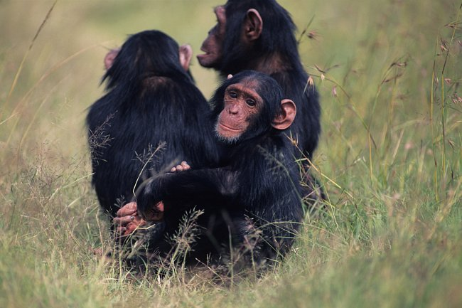 Tři šimpanzi (Pan troglodytes) v Keni.